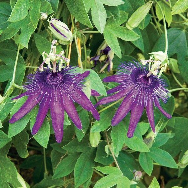 Becky S Blue White Passion Flower Passiflora Potted 4 Pot Blue Passion Flower Passion Flower Tea Passion Flower Plant