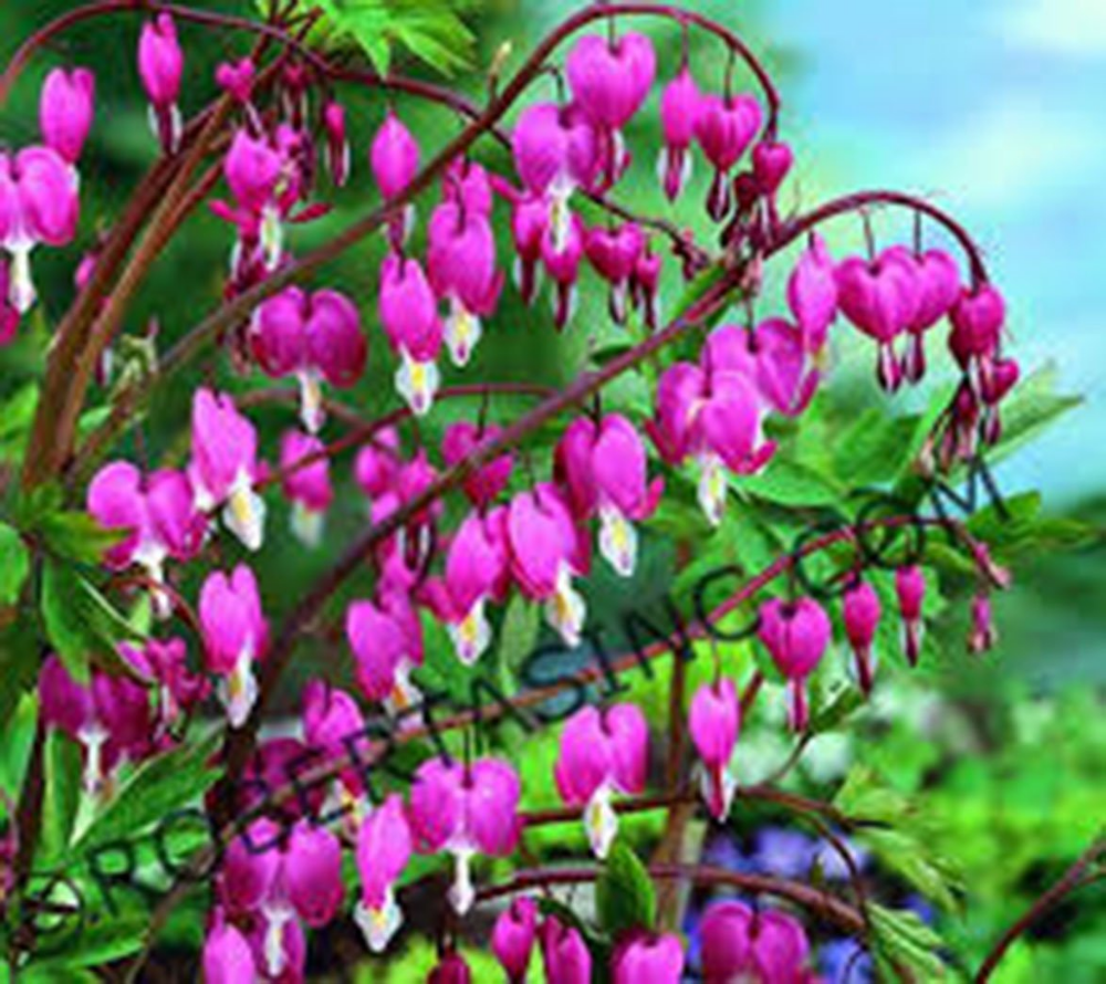 Amazon Com Bleeding Hearts Pink 1 2 3 Eye Live Plants Dicentra Spectabilis Perennial Flower Spring Flowering Pin Flowers Perennials Pink Plant Plants