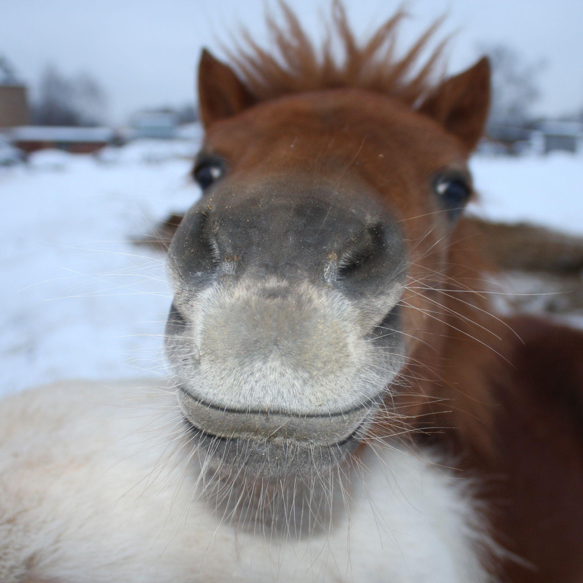 Download Wallpaper 2048x2048 Horse Face Nose New Ipad Air 4 3 Ipad Mini Retina Hd Background Funny Horse Pictures Horses Cute Horses