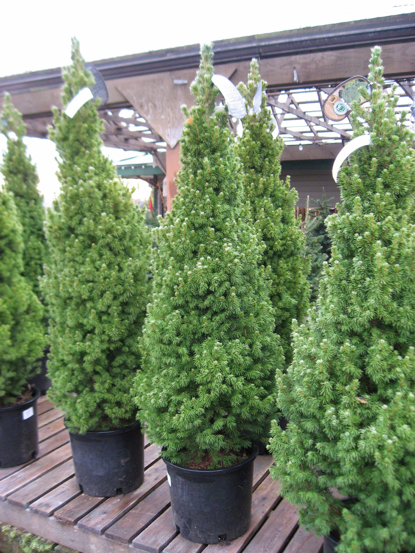 dwarf alberta spruce | Dwarf Alberta Spruce #5 Pot | Dwarf ...