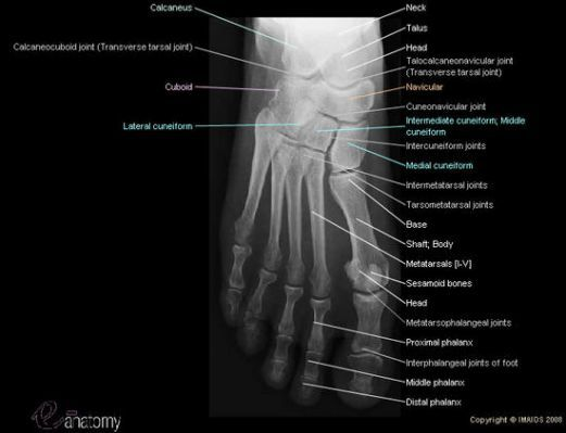 Foot Anatomy Radiology Diagram Car Wiring Diagrams Explained