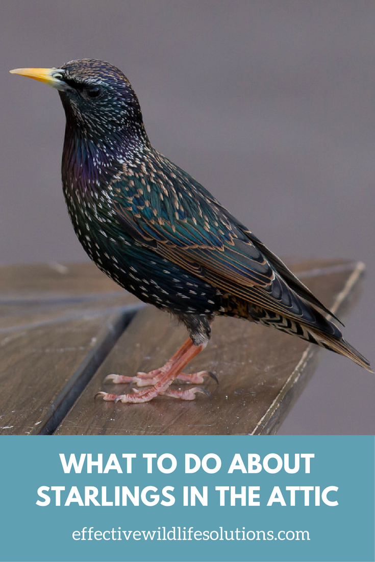 Do You Have Starlings In Your Attic Effective Wildlife Solutions Animals Starling Wildlife