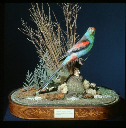 Pin On Australian Parrots