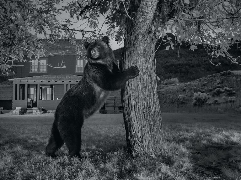 """""""Bearly Noticeable""""— A camera trap caught a grizzly reaching for fruit in the branches of an apple tree. Grizzlies are frequent visitors to yards like this one in front of a historic house along Yellowstone's northern boundary.  - Photograph by Michael Nichols with Ronan Donovan and The National Park Service"""
