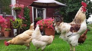 Kuvahaun tulos haulle kanat puutarhassa