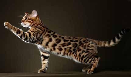 Asian Leopard Cat For Sale Houston