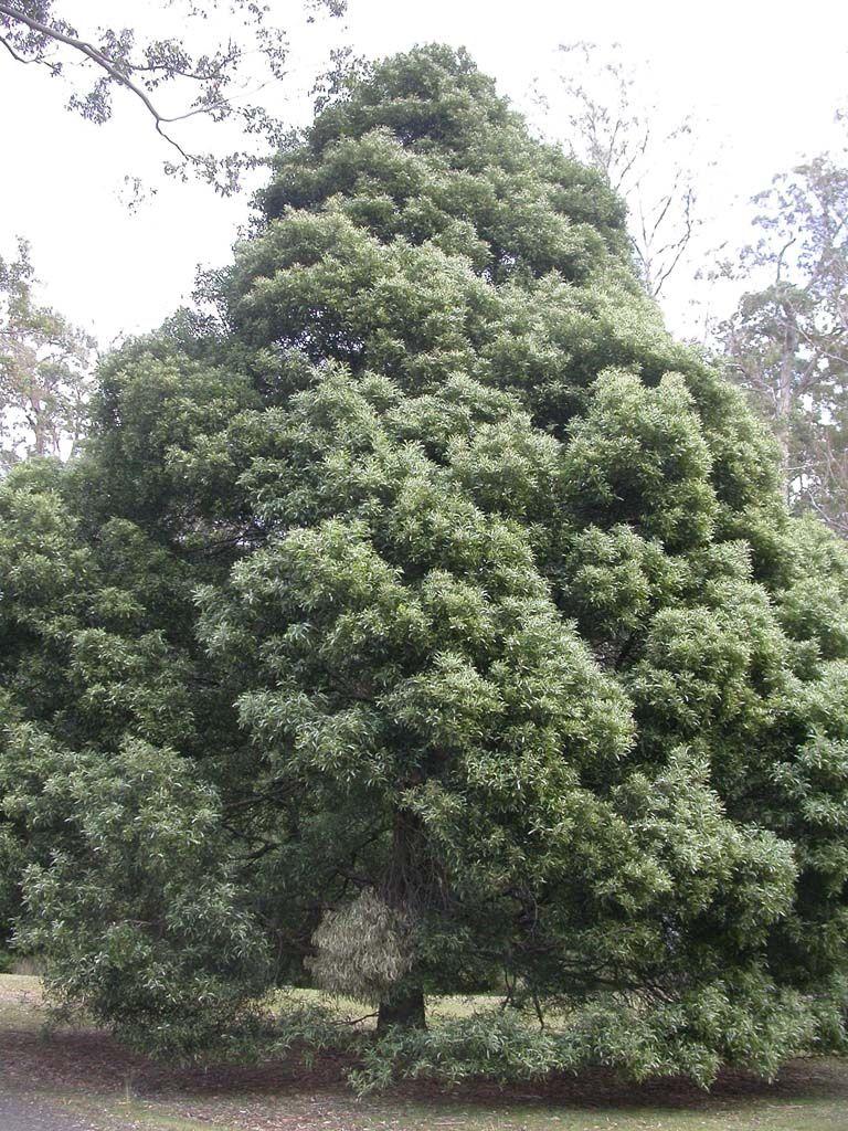 Acacia Melanoxylon Aromo Australiano Lindacrest Green Building