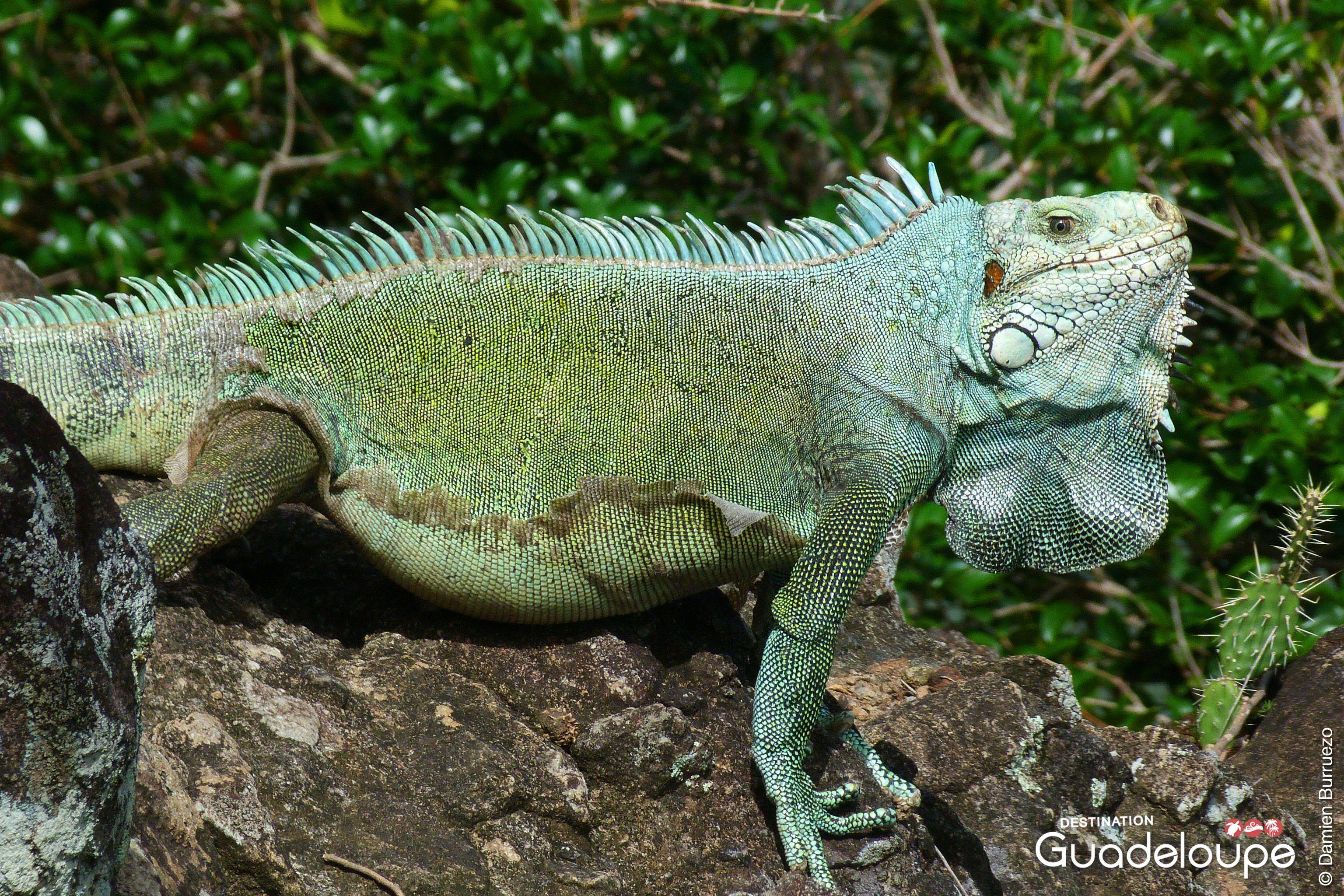 Epingle Par Destination Guadeloupe Sur Iguanes Lezards De Guadeloupe Iguane Vert Iguane Les Petites Betes