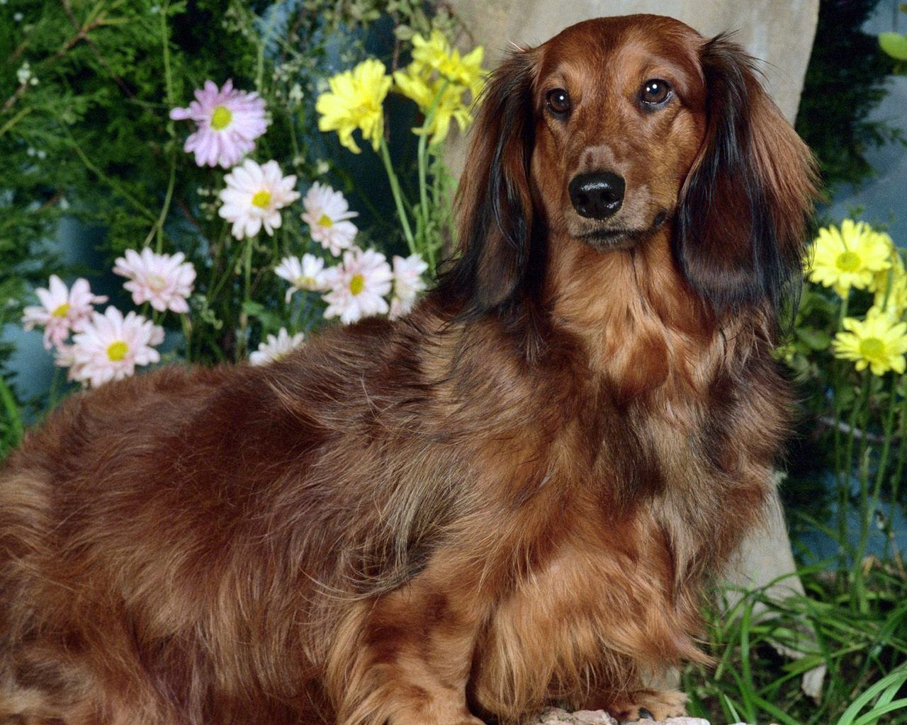 Standard Long Hair Dachshund I Have A Male But He Is Not This