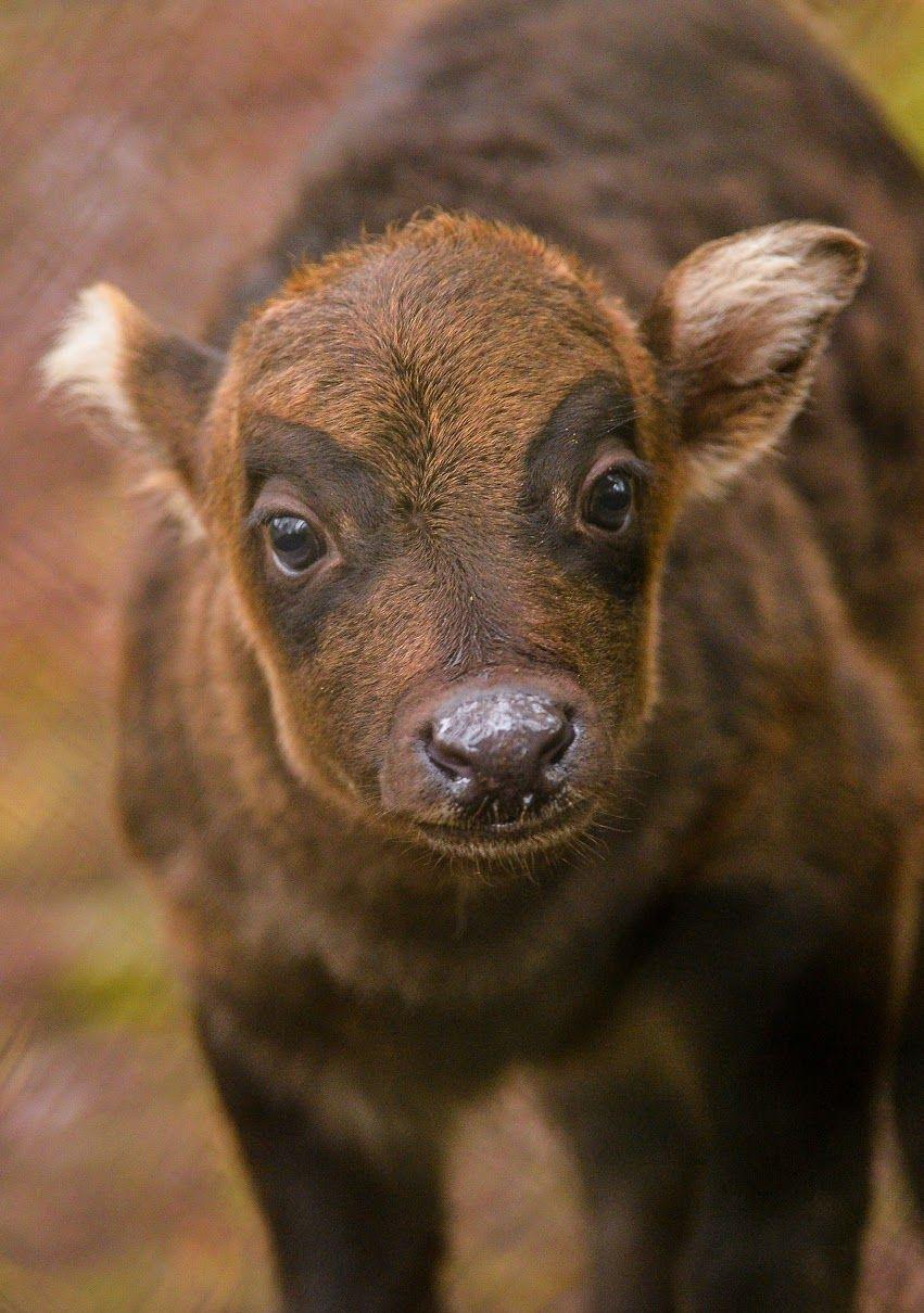 Anoa Endangered Animal Endangered Animals, Animals