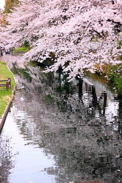 Sakura Flor De Cerejeira Japanese Cherry Blossom Nature Photography Beautiful Landscapes Beautiful Nature