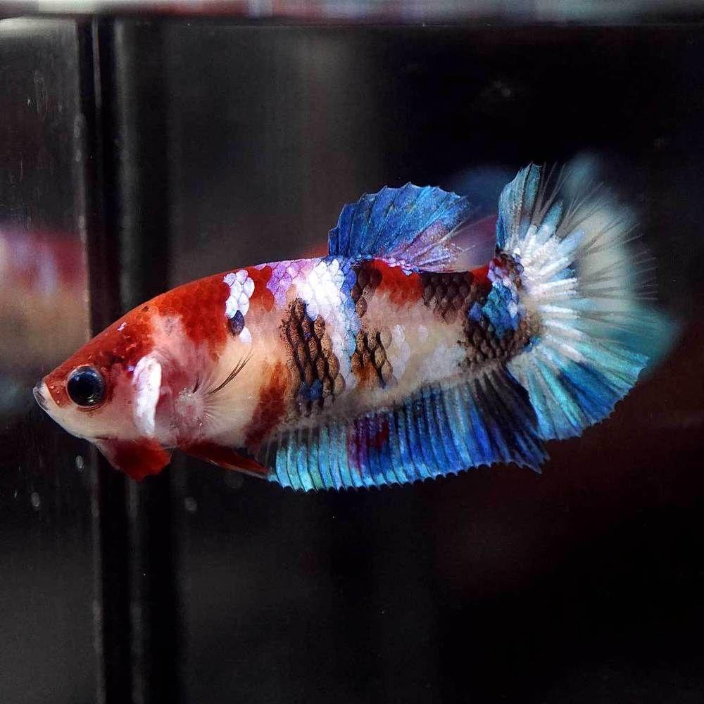 Betta Fish Betta Fish Ideas Bettafish Fishbetta Live Betta Fish Fancy Multi Color Koi Halfmoon Plakat Hmpk Female 82 Betta Fish Betta Live Fish For Sale