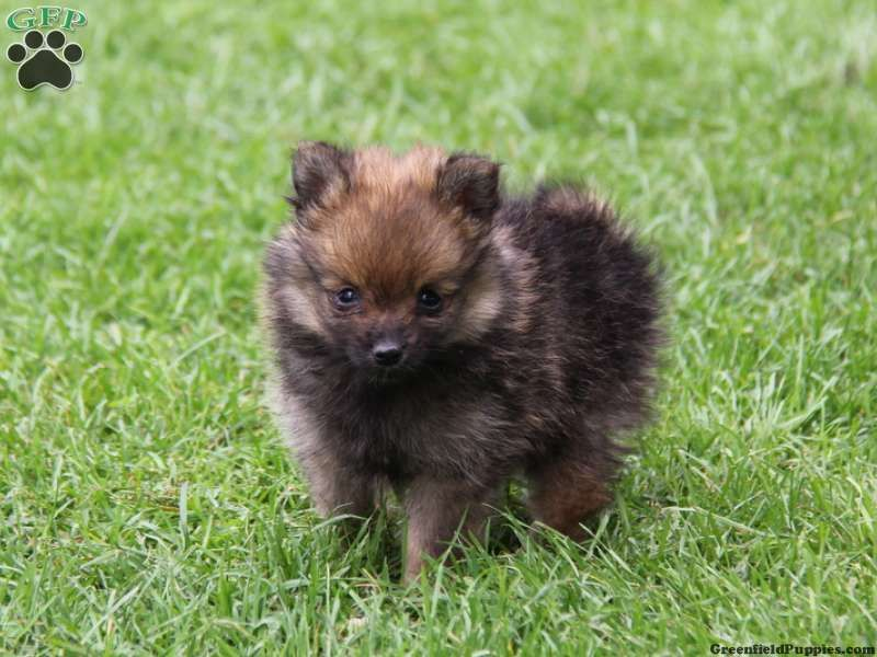 Skipper Pomeranian Puppy For Sale In Honey Brook Pa With Images
