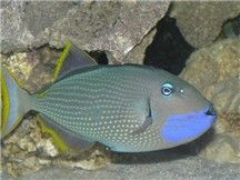 Blue Throat Trigger Fish Saltwater Tank Fish Fish Pet