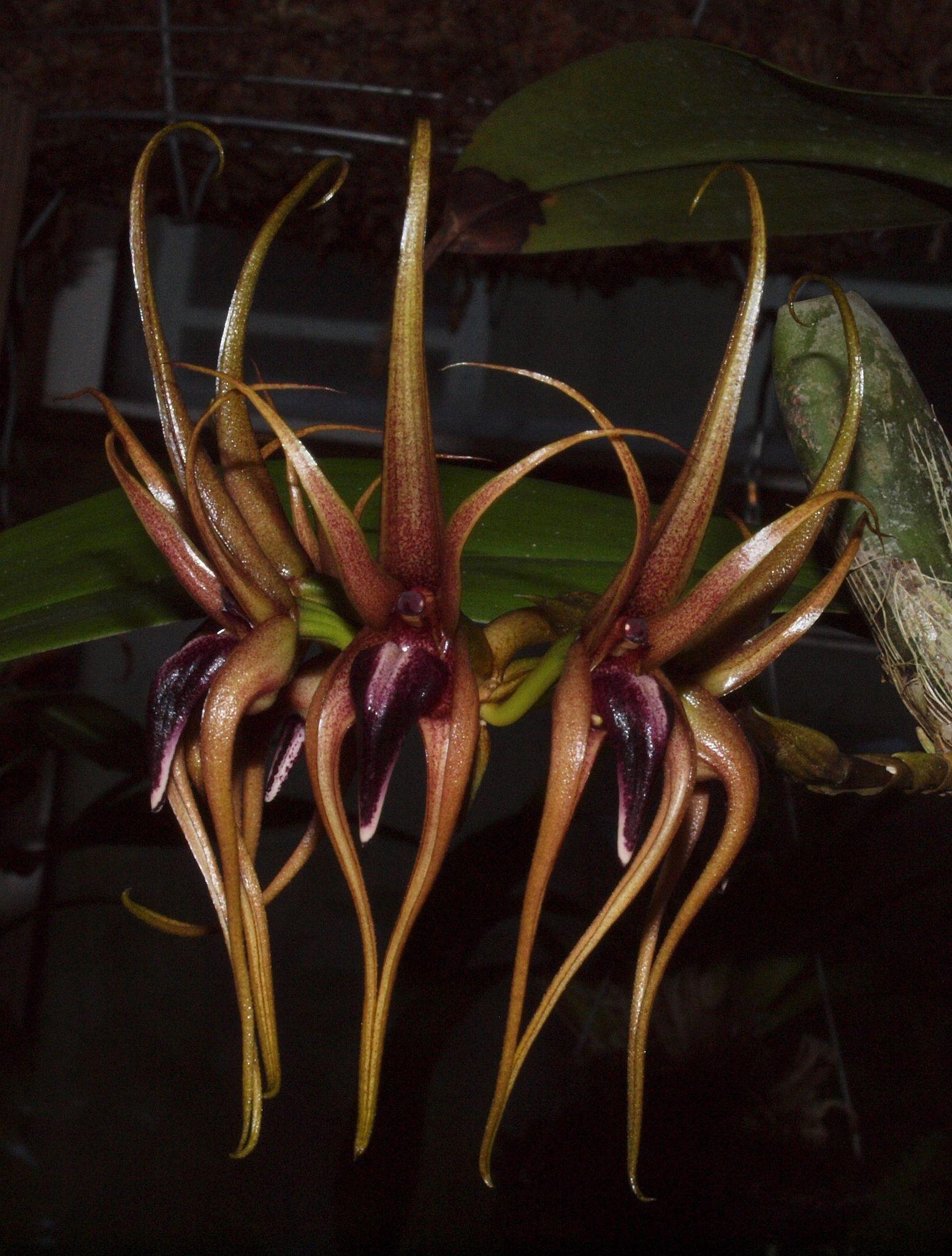 Bulbophyllum pahudii - Flickr - Photo Sharing!