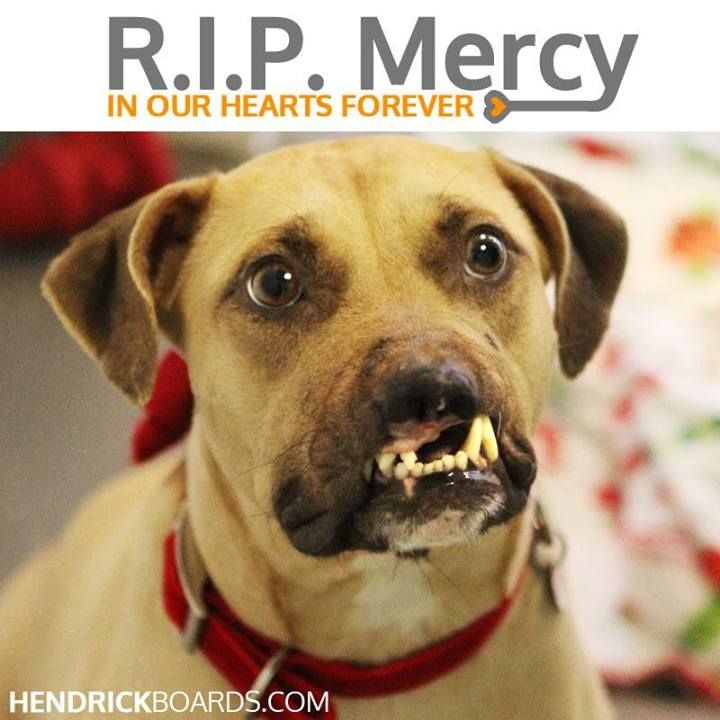 It is with an extremely heavy heart that the staff of Atlanta Pet Rescue & Adoption announces that their sweet girl Mercy has lost her hard-fought battle with Babesia infection. She crossed the Rainbow Bridge peacefully overnight.  www.facebook.com/photo.php?fbid=621724591195521=a.247331921968125.66084.238220526212598=1=nf