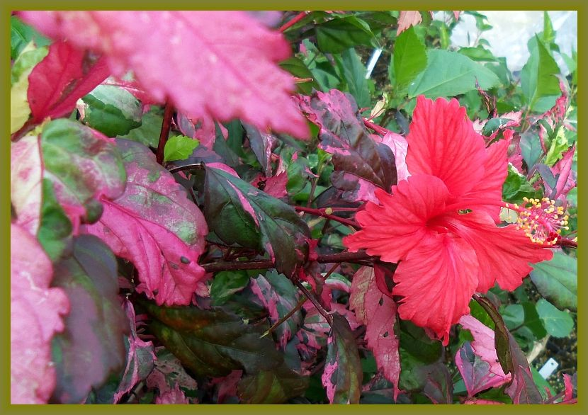 Tropical Hibiscus Variegated Leaves Red Rose Queen Click Image To Close Hibiscus Plant Red Flowers Plants