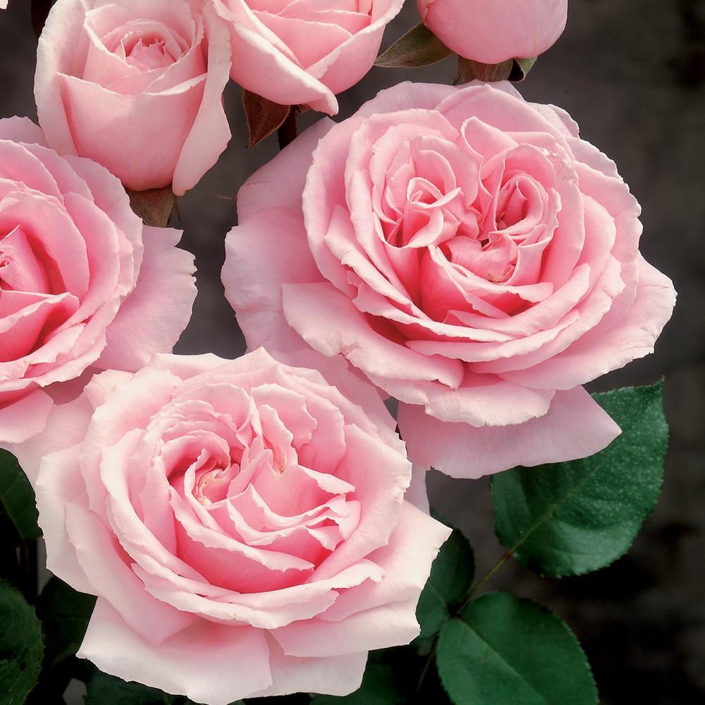 National Plant Network 4 In Cupcake Mini Rose With Pink Flowers 3 Piece Hd1068 The Home Depot Hybrid Tea Roses Mini Roses Tea Roses