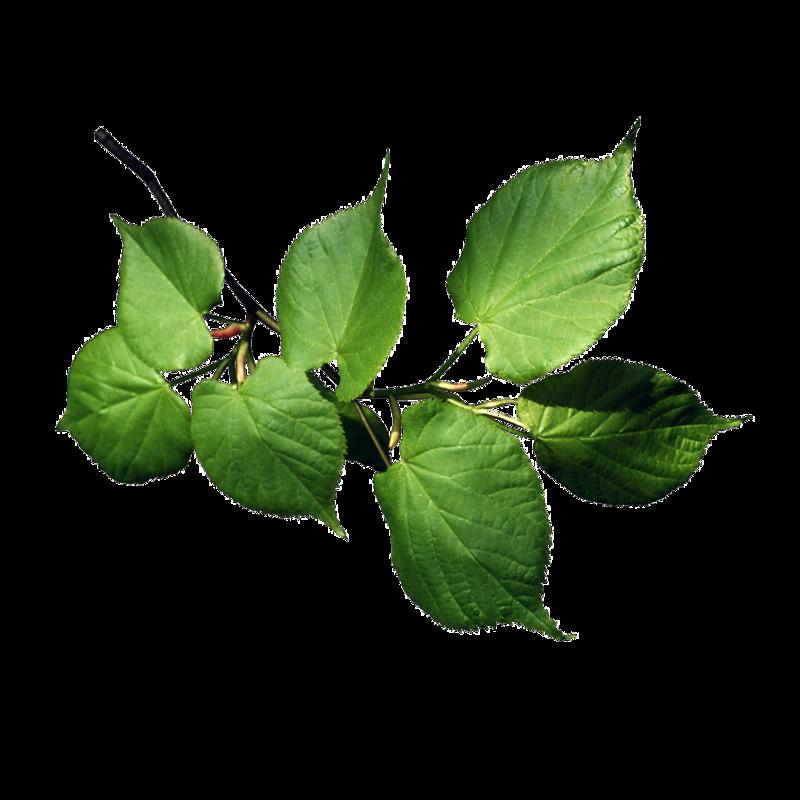 картинки листьев деревьев для презентации правила
