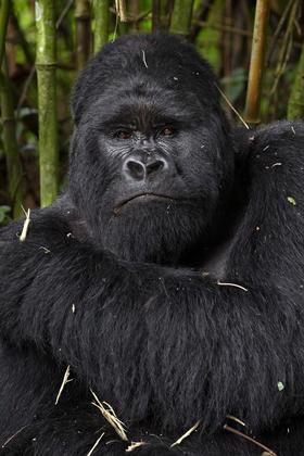 James Hager/Robert Harding Silverback mountain gorilla (Gorilla gorilla beringei) of the Kwitonda group, Volcanoes National Park, Rwanda, Africa