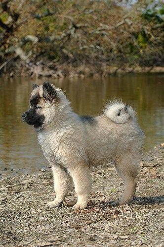 The Eurasier Also Known As Eurasian Is An Even Tempered Dog From Germany This Type Of Dog Is Reserved Toward Strangers Bu Eurasier Welpenzucht Eurasier Hund