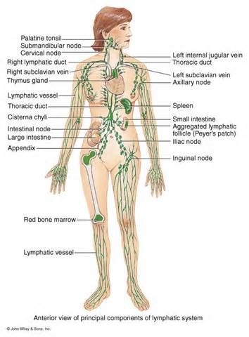 lymphatic system - - Yahoo Image Search Results | Health | Pinterest ...