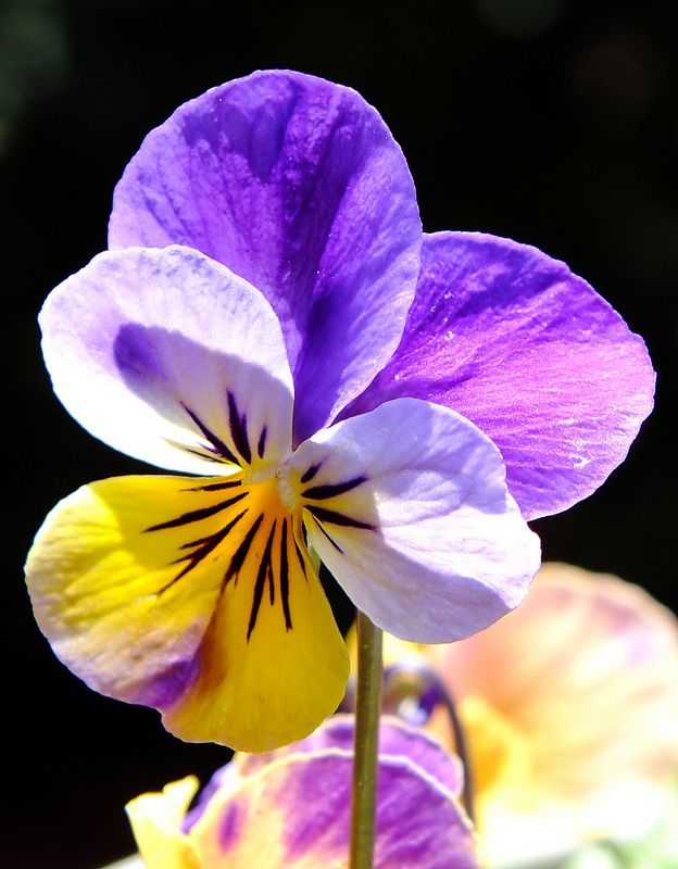 Standing Tall Pansies Flowers Pansies Beautiful Flowers