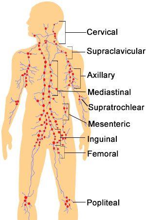 Lymphatic System Anatomy Jpg 528 865 Pixels Lymphatic System Anatomy Lymphatic System Massage
