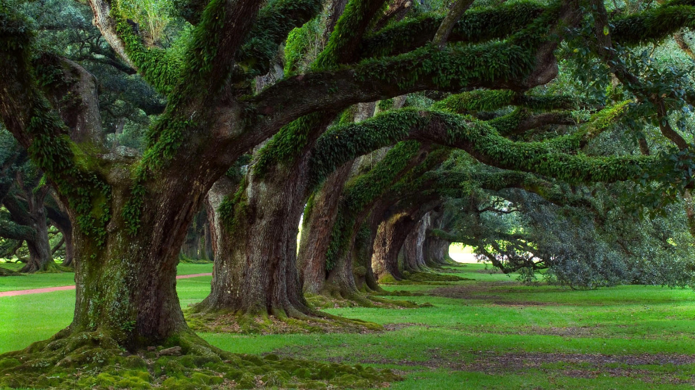 Old Growth Row Of Trees By Samu Z 500px Beautiful Tree Live Oak Trees Green Trees