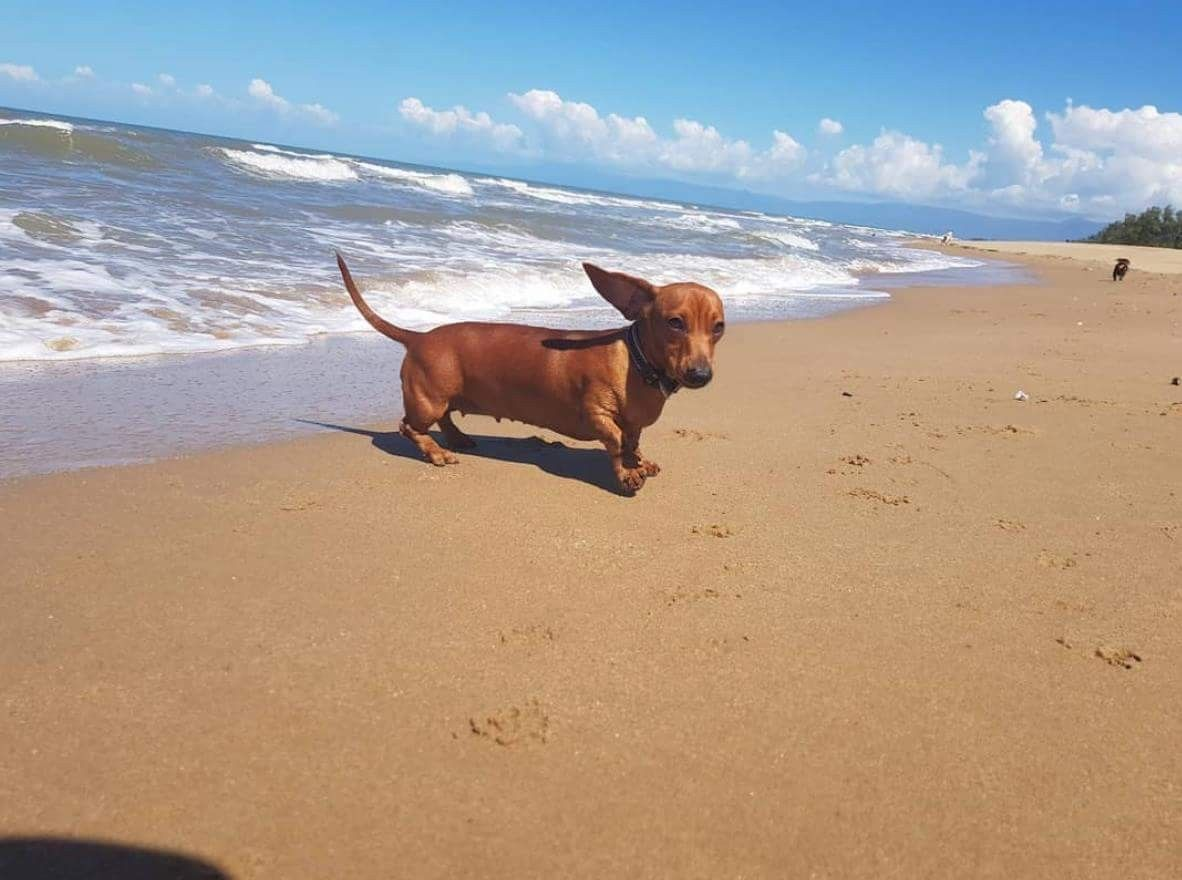 Doxie At The Beach With Flying Ears Dachshund Breed Dapple