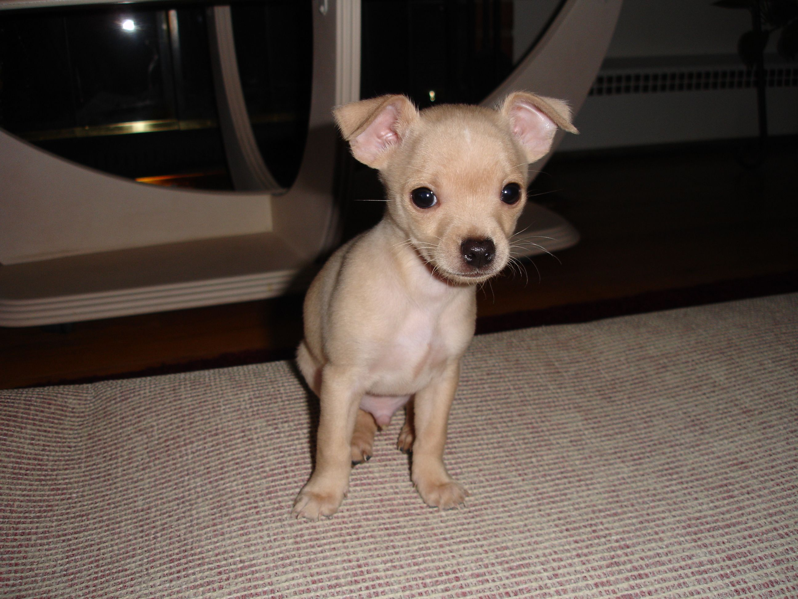 My Little Munchkin As A Baby Louie The Chihuahua Chihuahua