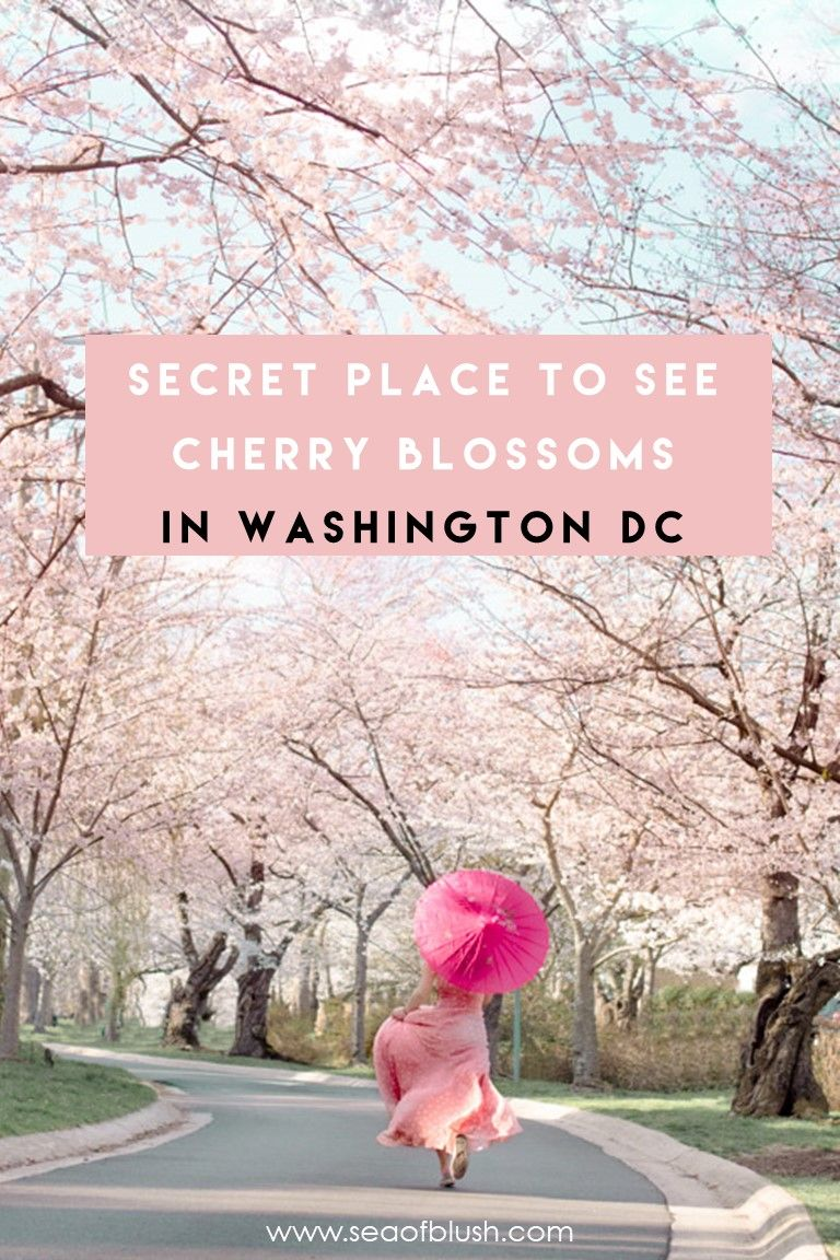 Kenwood Cherry Blossoms Experience Peak Bloom Without The Crowds Usa Travel Guide North American Travel Usa Travel Destinations