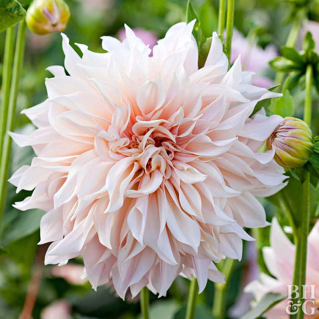 5 Common Mistakes When Growing Dahlias And What To Do Instead Growing Dahlias Flowers Dahlia Flower