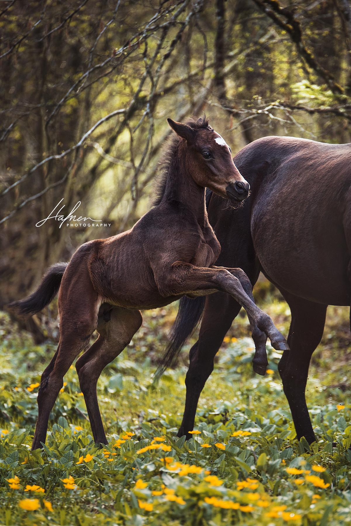 dunkelbraunes fohlen springt auf blumenwiese  pferd
