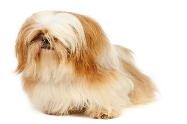 16. Shih Tzu: Long Haired Dog Breed | puppy love | Pinterest | Dog ...
