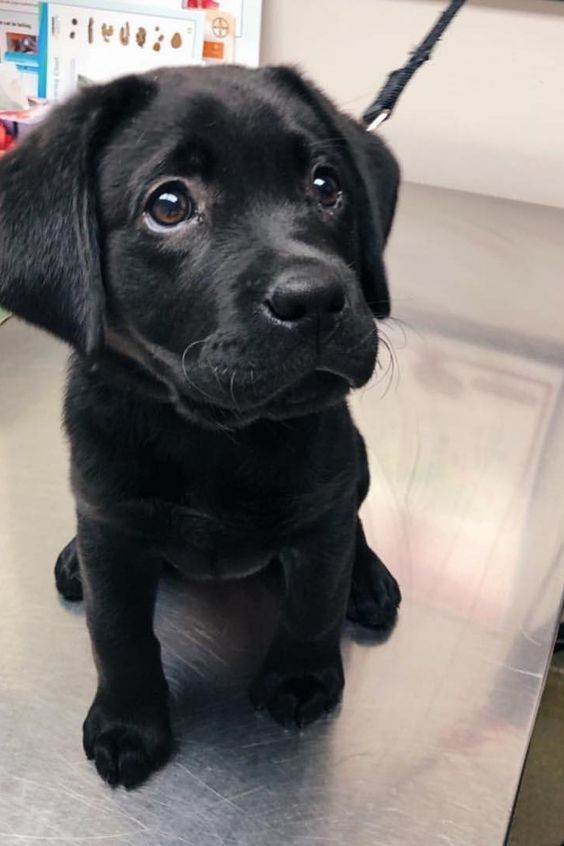 Black Lab Puppy If You Love Labradors Visit Our Blog Labrador Labradorretriever Labradorcentral R In 2020 Black Labrador Puppy Lab Puppies Black Lab Puppies