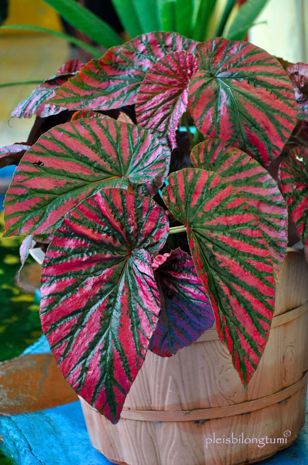 Begonia Tanaman Tanaman Hias Daun Bunga Eksotis
