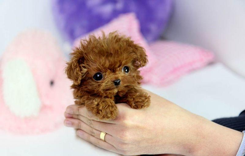He S So Tiny He Needs A Kisss Teacup Poodle Puppies Teacup
