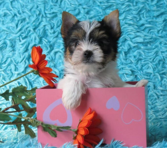 A girl Parti Yorkie for sale in Hebron,KY  | Tiny Yorkie