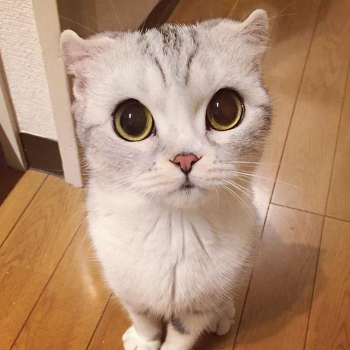 Meet Hana A Japanese Kitty With Incredibly Big Eyes Who Is Taking