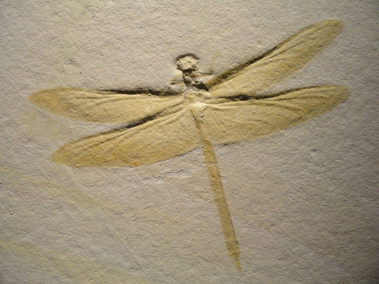 Mesurupetala Dragonfly Late Late Jurassic Tithonian Age Solnhofen Lithographic Limestone Solnhofen Bavaria Germany Houston Museum O Fossils Seide