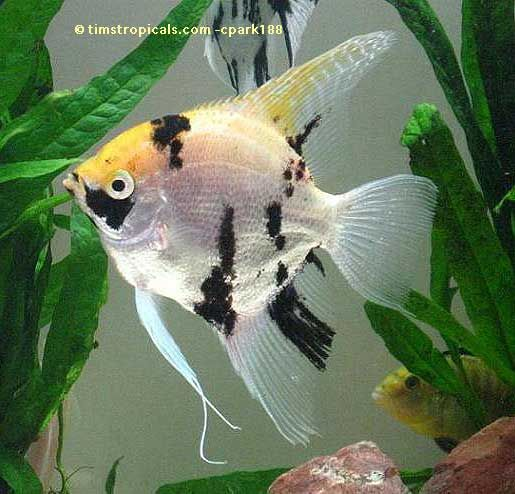 Koi angelfish pterophyllum scalare 25 gal live plant for Pet koi fish tank