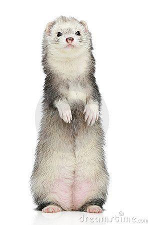 Silver Mitt Ferret