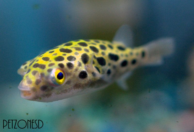 Green Spotted Puffer Gsp Puffer Fish For Sale This Or That Questions