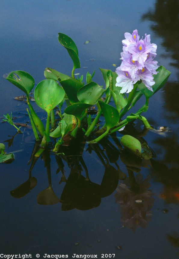 Brazil/pictures | ... sp., family Pontederiaceae, in Pantanal swamps, Brazil, Mato Grosso