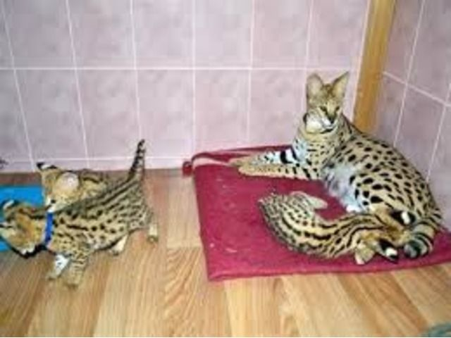 Adorable Tica F1 Savannah Kittens Abyssinian Cats Savannah