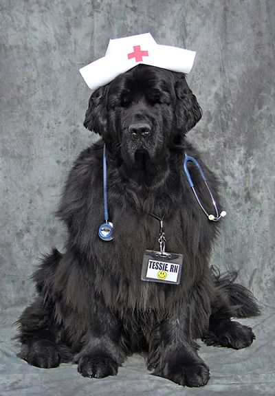 Black Paw Studio Amherst Nh Newfoundland Dog Newfoundland Dog Halloween