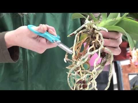 26 Orchideen richtig pflegen, gießen, und behandeln die Wurzeln brauchen auch Licht