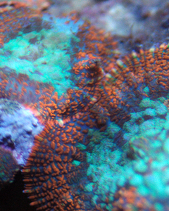 Orange Crush Mushroom Coral All Corals 50 Off Through Monday 10 19 23 59 59 Pst Reef Coralreef Ocean Seahorse Copepods Soft Corals Reef Tank Coral