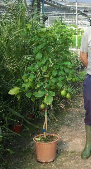 limonero eureka 3 años en maceta | frutales y + . | pinterest